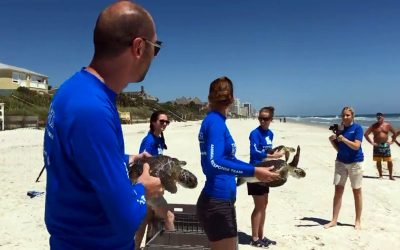 Florida Aquarium Returns Green Sea Turtles to The Ocean