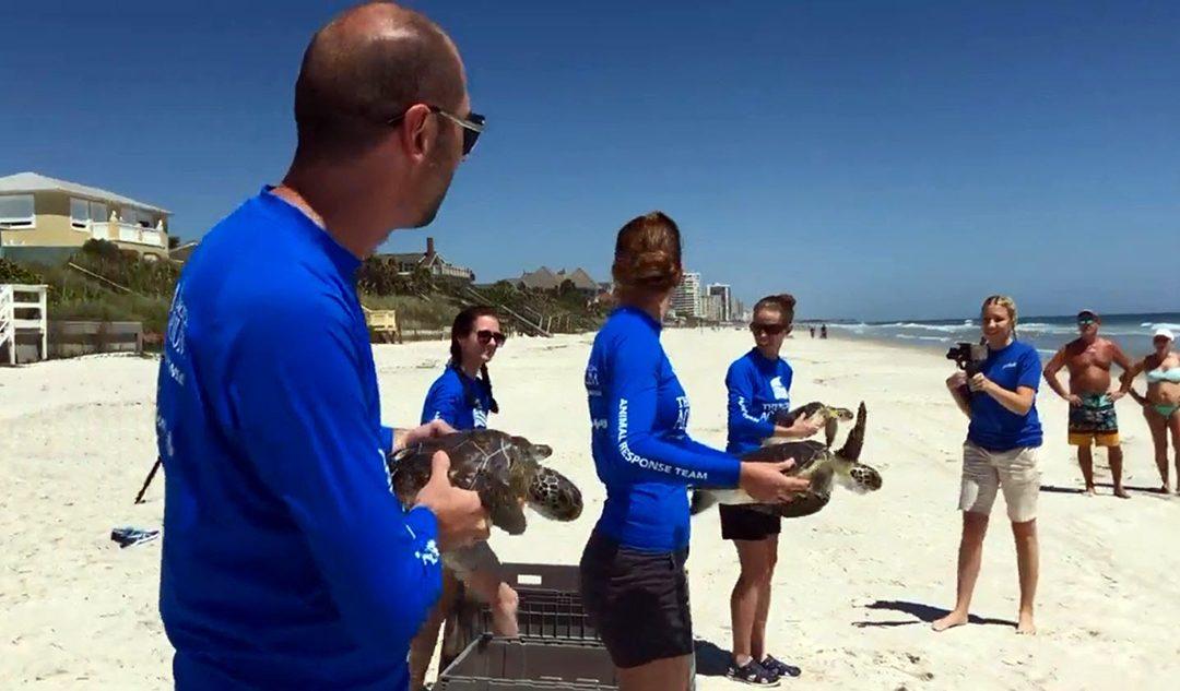 Florida Aquarium Returns Green Sea Turtles to The Ocean