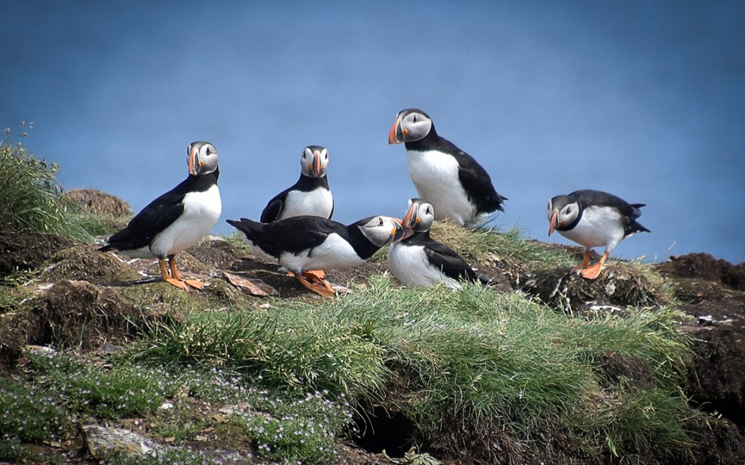 Puffins Amongst the Scenery