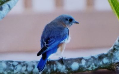 May the Bluebirds of Happiness Nest in Your Yard